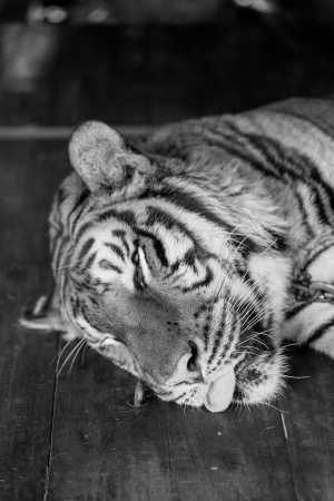 Bengal Tiger sleeping photo
