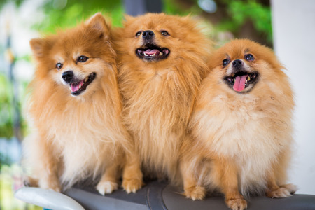 puppies of a Pomeranian photo