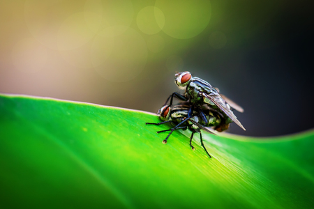 Close up of couple flies mating on leaf photo