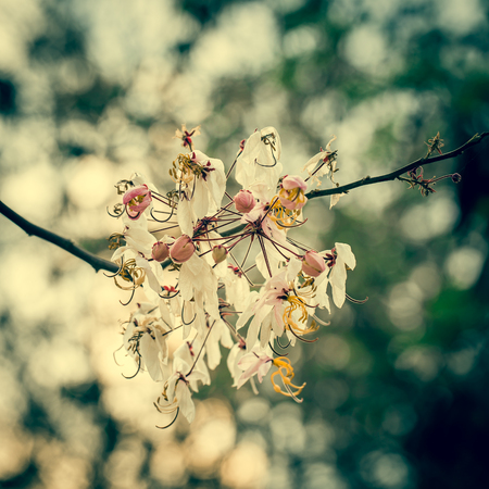 Wishing Tree, Pink Showe, Cassia Bakeriana Craib, Beneath a tree flowering pink resemble sakura. Thailand photo