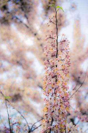 resemble: Wishing Tree, Pink Showe, Cassia Bakeriana Craib, Beneath a tree flowering pink resemble sakura. Thailand Stock Photo