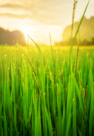paddy fields: Paddy rice field background and sunrise