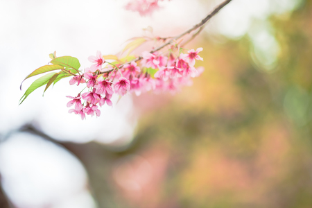 beautiful wild himalayan cherry flower ( Prunus cerasoides ) with flare light Stock Photo