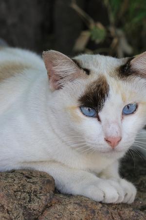 Close up blue eyes white cat lying on the ground Stock Photo