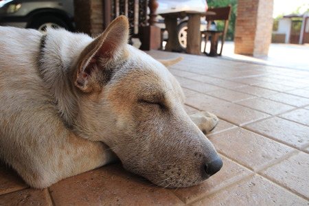 Close up the white dog sleeping on the ground