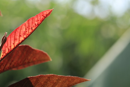 Close up transparency red leaf and white bokeh on green background Stock Photo