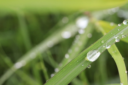 Close up dew drops on grass leaf  in the grass field