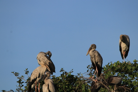 Close up the Asian openbill birds standing on the tree and blue sky Stock Photo