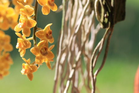 Close up transparency small yellow orchid flowers and root on green background Stock Photo