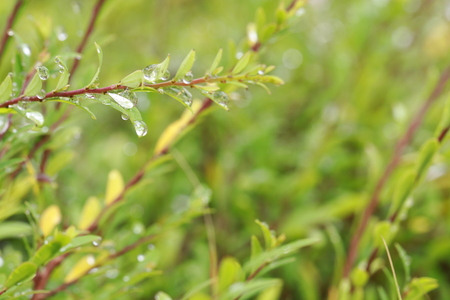 Close up dew drops on small leaves in the morning