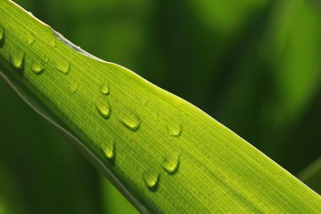 Dew drops on transparent green leaf 스톡 콘텐츠