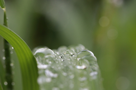 Water drops on grass leaves in rainy day