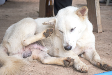White dogs are using their feet to scratch the head.