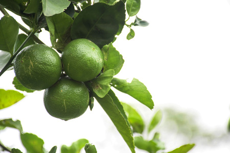Thai lime is bright green on branches with thick leaves.