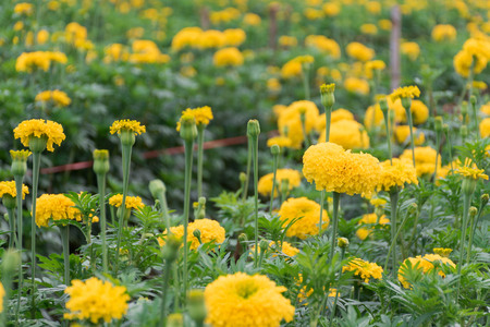 Many yellow marigolds in the garden in the evening Фото со стока
