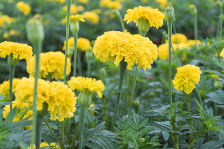 Many yellow marigolds in the garden that growers sell. Imagens
