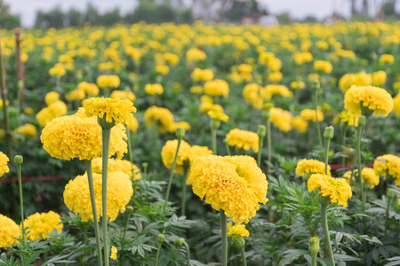 Many yellow marigolds in the garden that growers sell. Фото со стока
