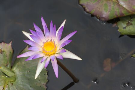 Photo of a purple lotus in a lotus pond, colorful and beautiful.