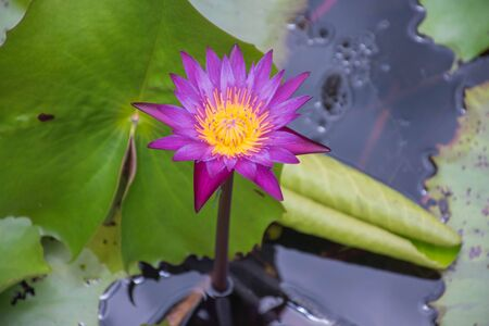 Photo of a purple lotus in a colorful lotus pond