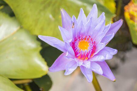 One beautiful purple lotus flower blooming with yellow pollen, purple