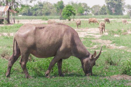 Buffalo eating grass in many fields