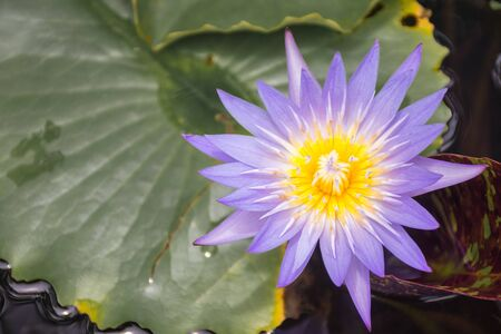 One beautiful purple lotus flower blooming with golden yellow pollen Фото со стока