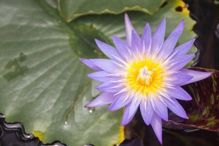 One beautiful purple lotus flower blooming with golden yellow pollen Imagens