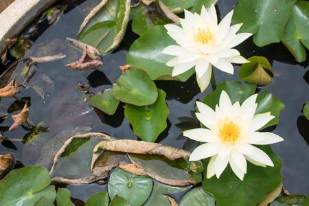 2 white lotus flowers bloom from the lotus basin