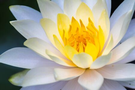Photo of a white lotus close-up, see yellow stamens