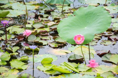 Photo of pink lotus in a colorful lotus pond Фото со стока