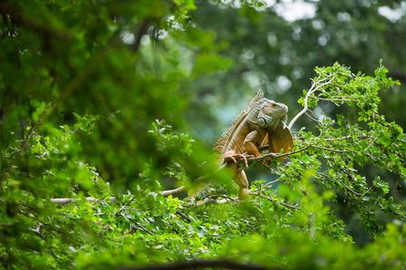 iguana: Iguana on a tree