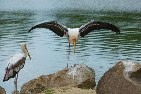 beine spreizen: alte Storch mit Flügeln auf einem Felsen ausbreiten