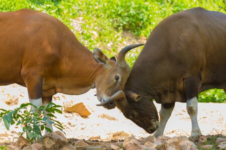 to tease: playing the tease of banteng or southeast asian bull Stock Photo