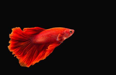 betta splendens: fighting fish or betta splendens on black background