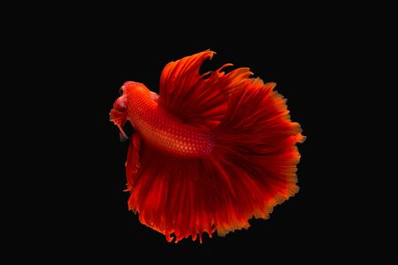 fighting fish or betta splendens on black background