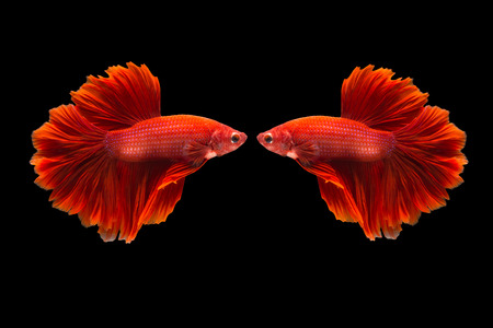 confrontation of siamese fighting fish or betta splendens on black background Stock Photo