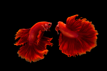 betta: confrontation of siamese fighting fish or betta splendens on black background Stock Photo