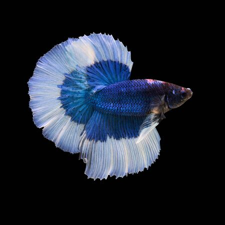 blue fish: siamese fighting fish on black background, betta fish Stock Photo