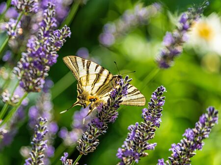 A butterfly swallowtail sits on a lavender flower on a green natural pastel background. The butterfly has spread wings