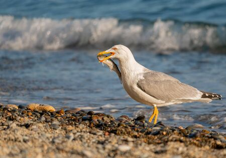 Seagull caught mullet and eats on the beach. Fresh mullet fish catch by the bird.