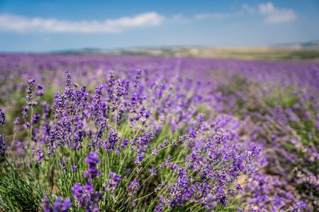 violet lavender flowers in the big field on sunny day Banco de Imagens