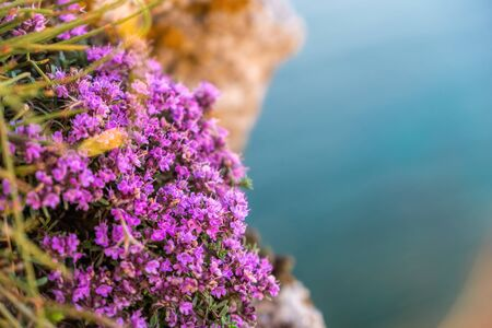 purple flowers of Thymus vulgaris bushes known as Common Thyme, Garden thyme. thyme in front of the turquoise sea on cape Fiolent, Crimea. The concept of calmness silence and unity with nature.