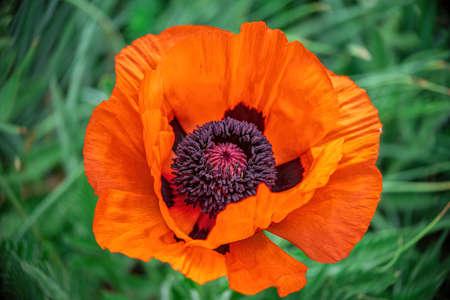 Closeup shot of a large orange poppy, single flower on leaf background