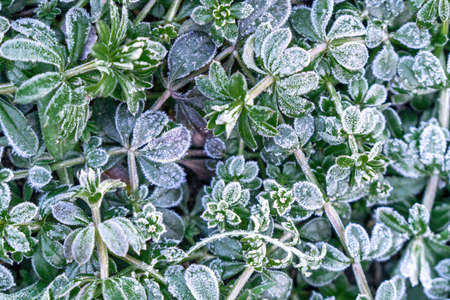 Selective focus. First frost on a frozen field plants, late autumn close-up. Beautiful abstract frozen microcosmos pattern. Freezing weather frost action in nature. Floral backdrop.