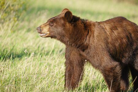 Grizzly bear Ursus arctos horribilis in Many Glacier, Glacier National Park, Montana, United States of America, North America
