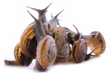 Three garden snails (Helix aspersa) isolated on white background.Teamwork concept