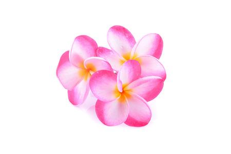 plumeria on a white background: plumeria rubra flower isolated on White background