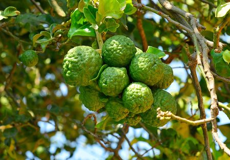 Bergamot on Tree. Stock Photo