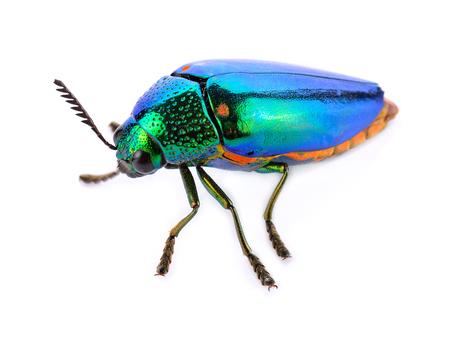 Käfer mit farbiger Rüstung, isoliert auf weiss. Sternocera aequisignata
