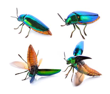 metallic wood-boring beetle on white background Фото со стока